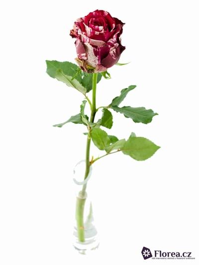 Červenobílá růže ANGRY BIRD 35cm