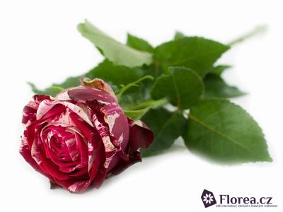Žíhaná růže ANGRY BIRD 40cm