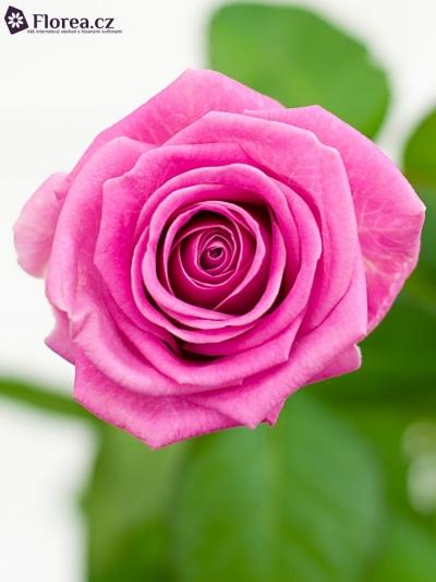 Růžová růže AQUA GIRL! 40cm