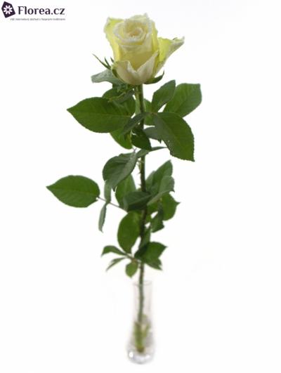 ROSA ATHENA FROST 60cm