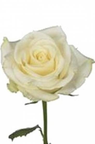 Bílá růže ATHOS 60cm