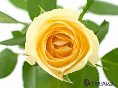 Meruňková růže AVALANCHE MAGIC+ 70cm