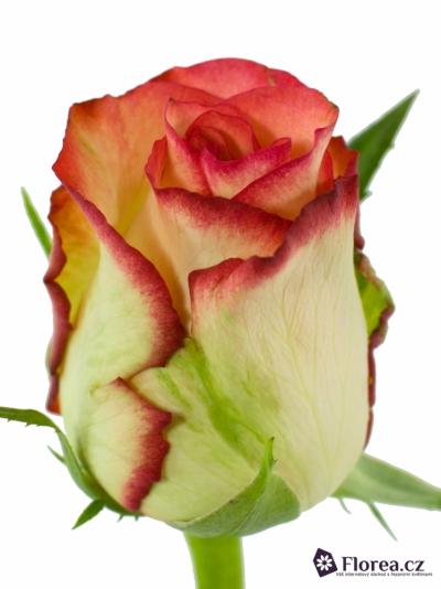 Oranžová,žlutá,červená růže BOHEME 80cm