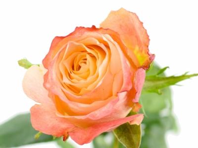 ROSA CABARET 70cm