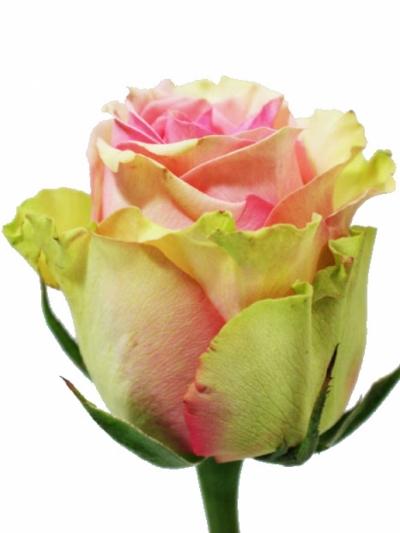 Světle růžová růže CARESS 70cm