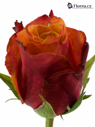 Oranžová růže CHERRY BRANDY 70cm (XXL)