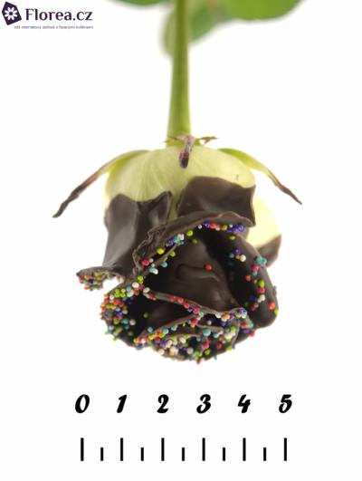 ROSA CHOCOLAT DISCO 60cm