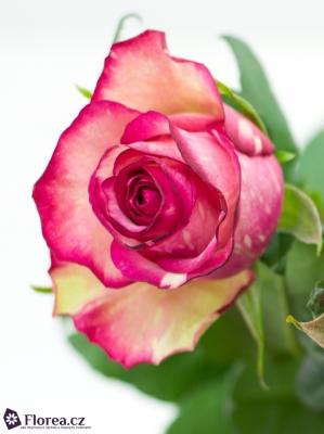 ROSA CLOWN 70cm