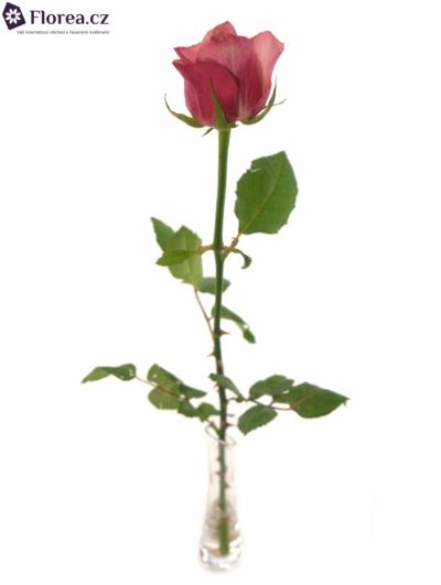 ROSA CORAL REEF 60cm