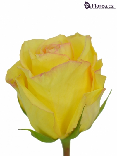 Žlutá růže DEJA VU 60cm