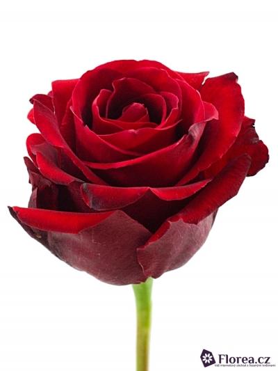 Červená růže DEVOTION 70cm