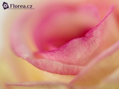 ROSA DOLCE VITA+ 80cm