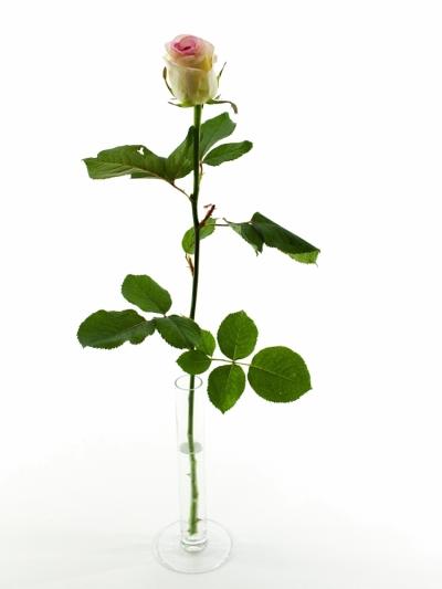 Bílorůžová růže DOLCE VITA+ 80cm