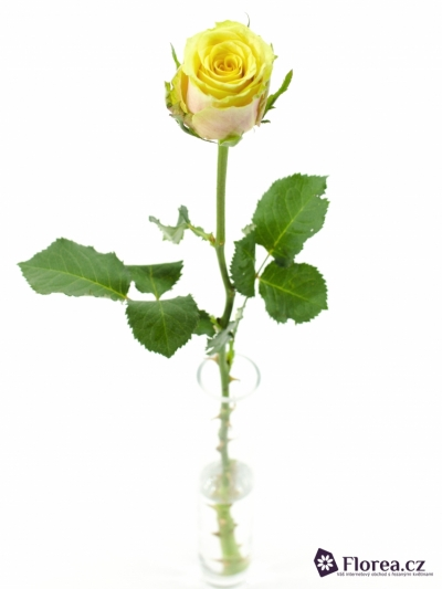 Žíhaná růže FANCY CURIOSA 60cm
