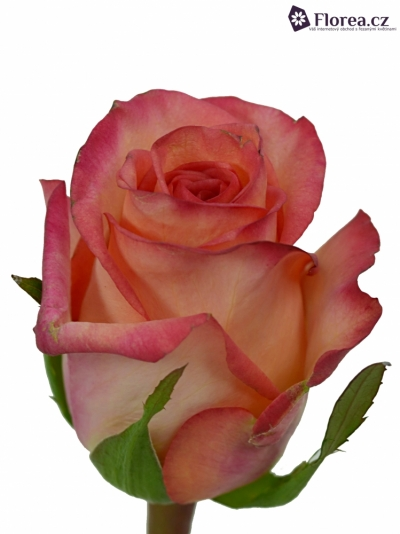 Růžová růže FIDJI 60cm