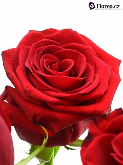 Červená růže FOREVER YOUNG 120cm