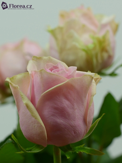ROSA GLAMGIRL 70cm