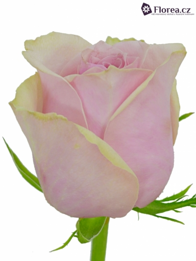 Růžová růže GLAMGIRL 70cm