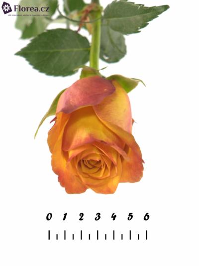 ROSA GOLD CREST 70cm