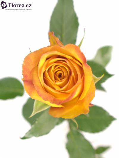 Oranžová růže GOLD CREST 70cm