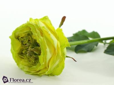 Zelená růže GREEN EYE 60cm