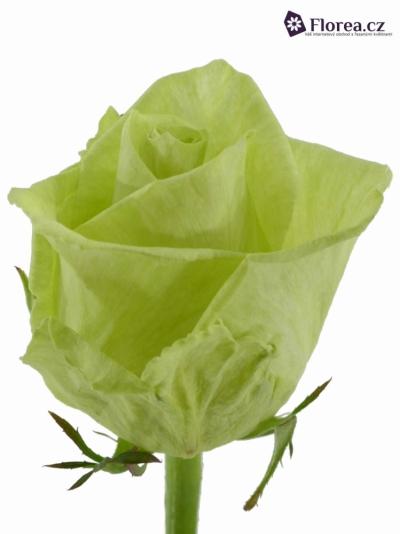 Zelená růže GREEN NAOMI! 70cm