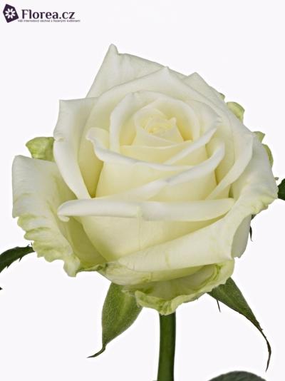 Bílá růže GUSSIE 70cm