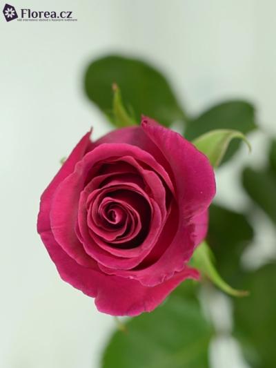 Růžová růže HIGH & MORA 60cm
