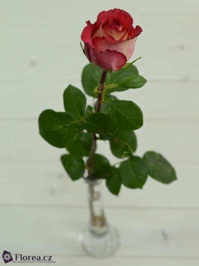 Červenokrémová růže IGUAZU 70cm