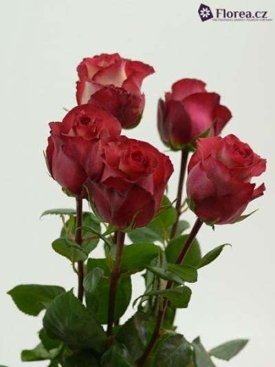 ROSA IGUAZU 60cm