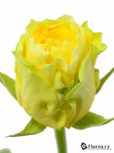 Žlutá růže ILIOS 60cm