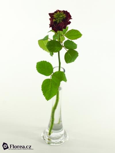 Červená růže IVANHOE 40cm