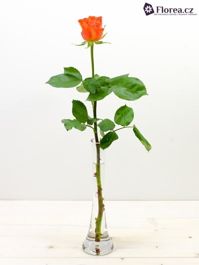 ROSA KALAHARI 50cm