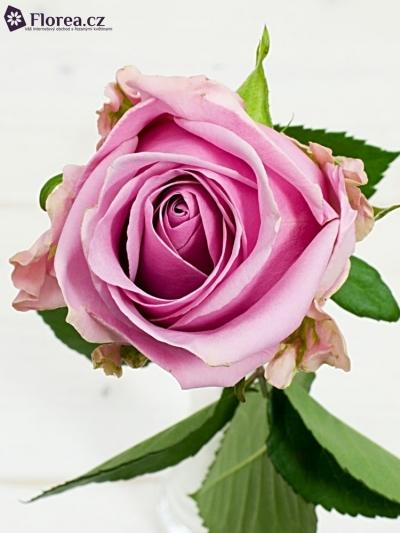 Růžová růže KEANO 80cm