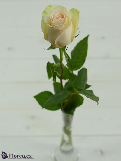 Krémová růže LA PERLA 70cm