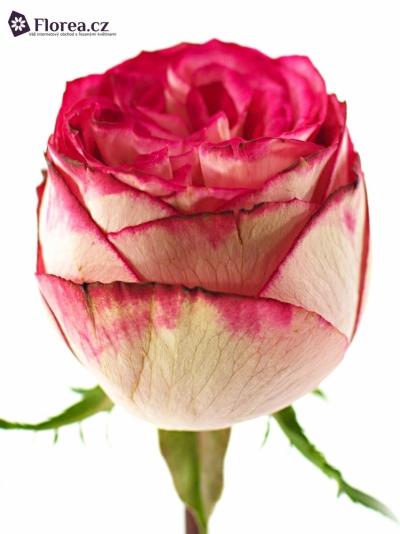 Růžová růže LETSPARTY 60cm