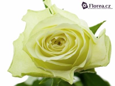 Bílá růže LONG ISLAND 60cm