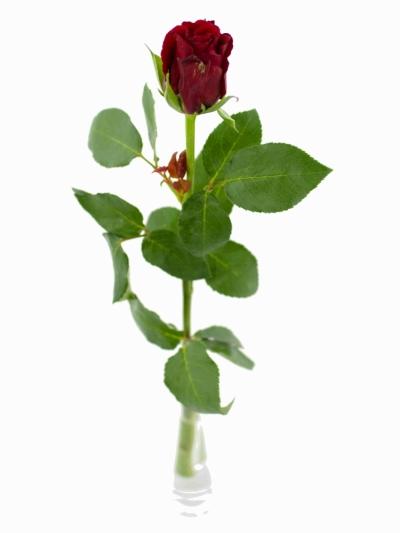 ROSA LOVE LETTER 50cm