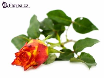 Žlutočervená růže MAJI MOTO 30cm