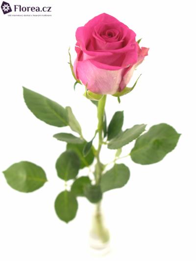 Růžová růže MARINA 40cm