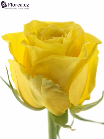 ROSA MIAMI 70cm