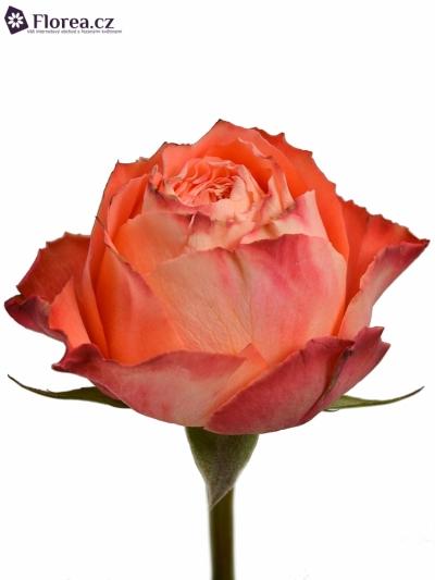 Oranžová růže ORANGE ROMANTIC 60cm
