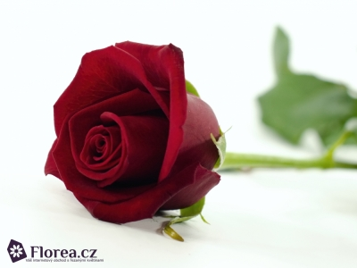 Červená růže PASSION 50cm