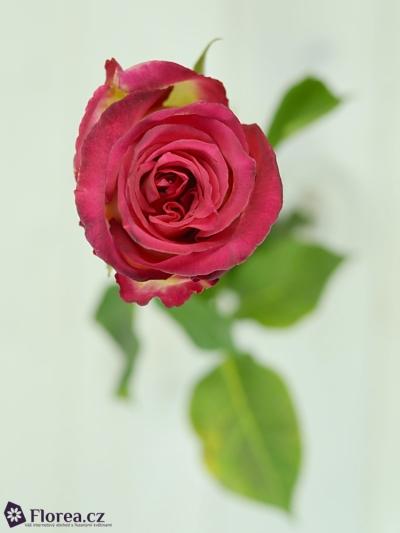 Růžová růže PAST TIMES 60cm