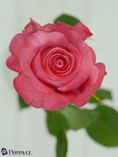 Růžová růže PINK LOVE 60cm