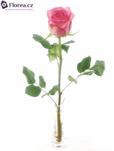 Růžová růže PINK SHADOW 50cm (XL)
