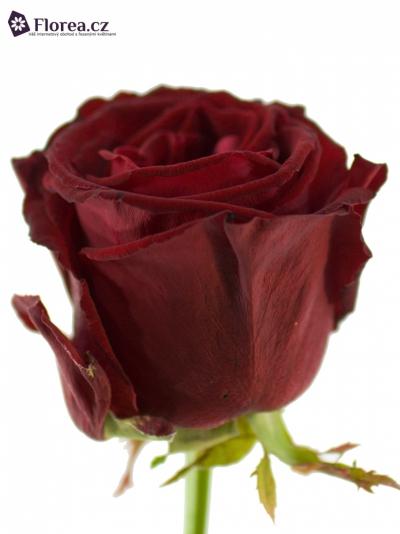 Červená růže POCO LOCO 55cm