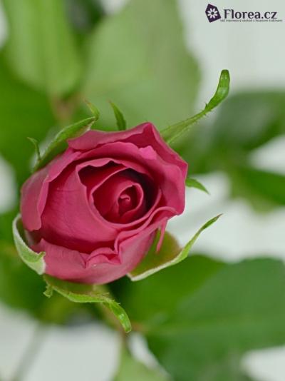Červená růže POISON 50cm