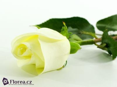 ROSA POLAR STAR 50cm