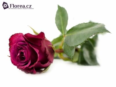 Fialová růže PURPLE SKY 60cm